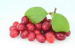 Dogwood berries Stock Photography