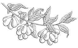 Dogwood berry graphic branch black white isolated sketch illustration Royalty Free Stock Photography