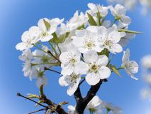 Dogwood in Bloom. This is a close-up shot of a dogwood branch in bloom against a blue sky Royalty Free Stock Photos