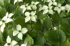 Dogwood in bloom. Royalty Free Stock Images