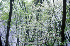 Dogwood in bloom, great Smokey Mountain National Park, Foothill Parkway, TN Royalty Free Stock Photo