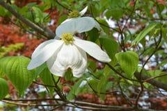 Dogwood bloom Stock Image
