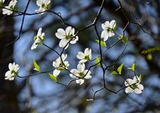 Dogwood. Blooming in the garden Stock Image