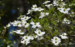 Dogwood. Blooming in the garden Stock Images