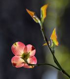 Dogwood. Blooming in the garden Stock Photo