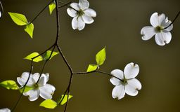 Dogwood. Blooming in the garden Stock Photos