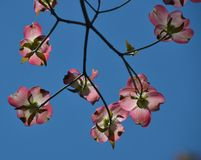Dogwood. Blooming in the garden Royalty Free Stock Images