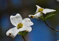 Dogwood. Blooming in the garden Royalty Free Stock Photography
