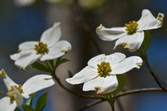 Dogwood. Blooming in the garden Stock Photography
