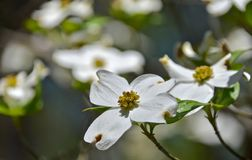Dogwood Royalty Free Stock Photos