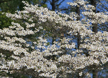 Dogwood blooms. Flowering dogwood tree in the Arkansas Ozarks Royalty Free Stock Photography