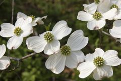 Dogwood Blooms. White Dogwood Tree Blooms in the Spring Royalty Free Stock Image