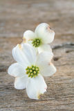 Dogwood Blooms Royalty Free Stock Photo