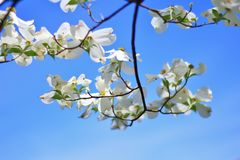 Dogwood Blooms - Colors in Nature Background - Hanging Whites stock photos