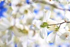 Dogwood Blooms - Colors in Nature Background - Pristine White Stock Photo