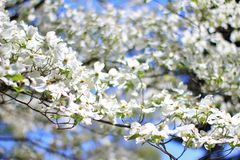 Dogwood Blooms - Colors in Nature Background - White Essence Stock Photography