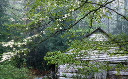 Dogwood Blooms and green leaves frame a wooden barn. Royalty Free Stock Photos