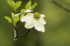 Dogwood blooms after a rain. Blooms of a Dogwood tree stock images