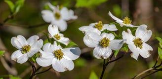 Dogwood Blooms Stock Photos