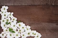 Dogwood Blossom Background Royalty Free Stock Photography