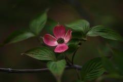Dogwood Blossom Stock Image