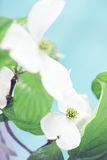 Dogwood Blossom Stock Images