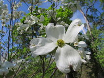 White Dogwood Blossoms and Blue Sky royalty free stock photography