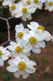 Dogwood blossoms. A cluster of Dogwood flowers in spring stock photography