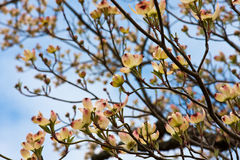 Dogwood Blossoms Royalty Free Stock Photo