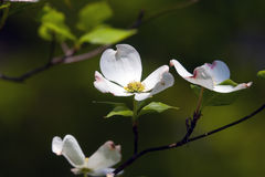 Dogwood Blossoms. Branch of blooming dogwood blossoms in springtime royalty free stock photo