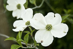Dogwood blossoms stock photo