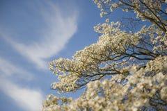 Dogwood Blossoms Against Blue Sky Background Stock Image