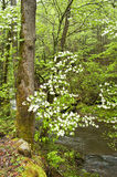 Dogwood blossoms in forest. Stock Photography