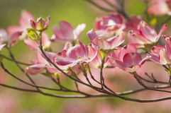 Dogwood Blossoms Stock Images