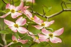 Dogwood Blossoms Royalty Free Stock Image