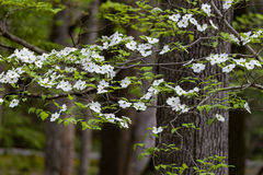 Dogwood blossoms at their peak. Following a spring rain Stock Photography