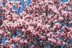 Dogwood Blossums 2 Στοκ φωτογραφίες με δικαίωμα ελεύθερης χρήσης