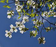 Dogwood. In the blue sky Stock Images