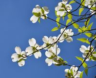 Dogwood. In the blue sky Royalty Free Stock Image