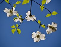 Dogwood. In the blue sky Stock Photo