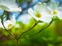 Dogwood Branch with Flowers in Spring stock photo