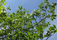 Dogwood branches with spring sky. Fresh new Dogwood leaves and white flowers brighten from spring sunshine against blue sky stock image