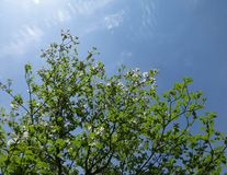 Dogwood branches with spring sky. Fresh new Dogwood leaves and white flowers brighten from spring sunshine against blue sky royalty free stock images