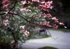 Dogwood, Brooklyn Botanic Garden. This beautiful dogwood tree is in full bloom at the Brooklyn Botanic Gardens royalty free stock image