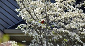 Dogwood and cardinal. Male red cardinal resting in a blooming dogwood tree Stock Photography
