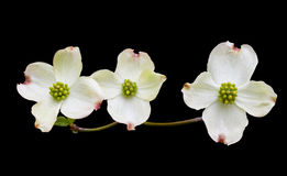 Dogwood with Clipping Path stock image