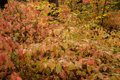 Dogwood color in fall Royalty Free Stock Photo