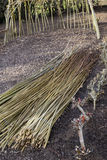 Dogwood Coppicing and weaving. Coppiced dogwood technique and use of canes in woodcraft royalty free stock images