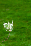 Dogwood (Cornus alba) leaves on green background Royalty Free Stock Photography