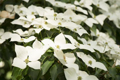 Dogwood Cornus Stock Photo